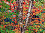 Sugar maples and paper birch are highlighted with autumn light. As these deciduous leaves begin to age, the green pigment of the chlorophyll is absorbed back into the tree, allowing the red, orange and yellow pigments to stand out.