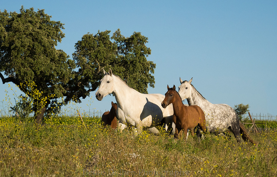 mares and foals at Monte Barrao studfarm, Alentejo, Portugal