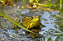 It ain't easy being green, just ask a green frog in a wetland near you !