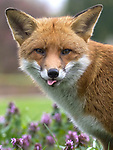 A happy playful fox smiles and sticks it's tongue out at photographer Martin West
