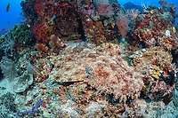 tasselled wobbegong, Eucrossorhinus dasypogon, Raja Ampat, West Papua, Indonesia, Halmahera Sea, Indo-Pacific Ocean