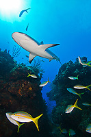 Caribbean Reef Shark, Carcharhinus perezii, swimming over coral reef ledges with yellowtail snappers, Ocyurus chrysurus, and minnows, West End, Grand Bahama, Bahamas, Caribbean, Atlantic Ocean