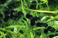 Erdkröte, Laich, Laichschnur, Laichschnüre unter Wasser zwischen Wasserpflanzen, Eier, Erd-Kröte, Kröte, Bufo bufo, European common toad