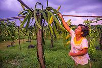 Agriculture, Farm-dragon fruit