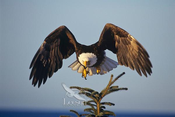 Bald eagle (Haliaeetus leucocephalus) taking off from perch.