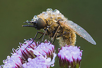 Fly (Diptera), dew covered on flower, Angier, North Carolina, USA.