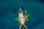 Anemone fish , Anilao, Philippines