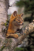 Gray Fox. The only North American.canid with true climbing ability..(Urocyon cinereoagenteus).