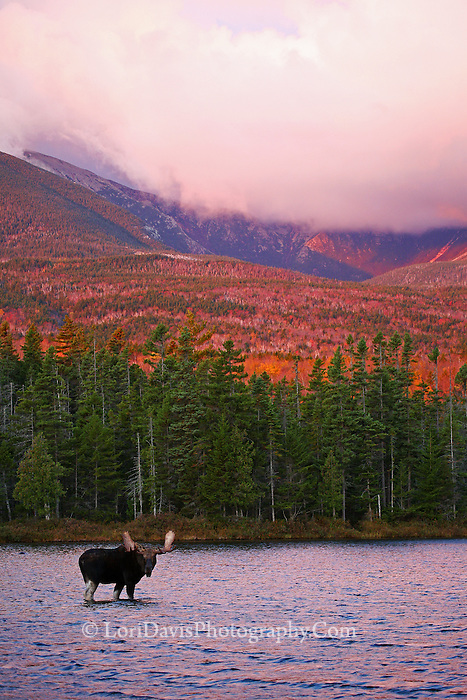 #M62 Bull Moose & Mt. Katahdin at sunrise