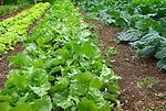 Monticello. Thomas Jefferson estate vegetable garden. White beet