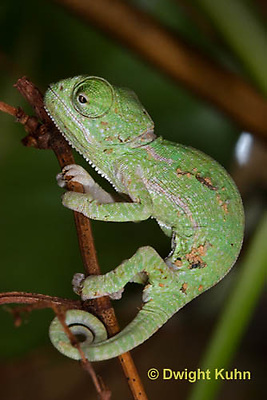 CH46-570z  Veiled Chameleon just hatched young, Chamaeleo calyptratus