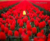 Tom Mackie, FLOWERS, photos, Yellow Tulip In Red Tulip Field, Lisse, Holland, GBTM990144-3,#F# Garten, jardín