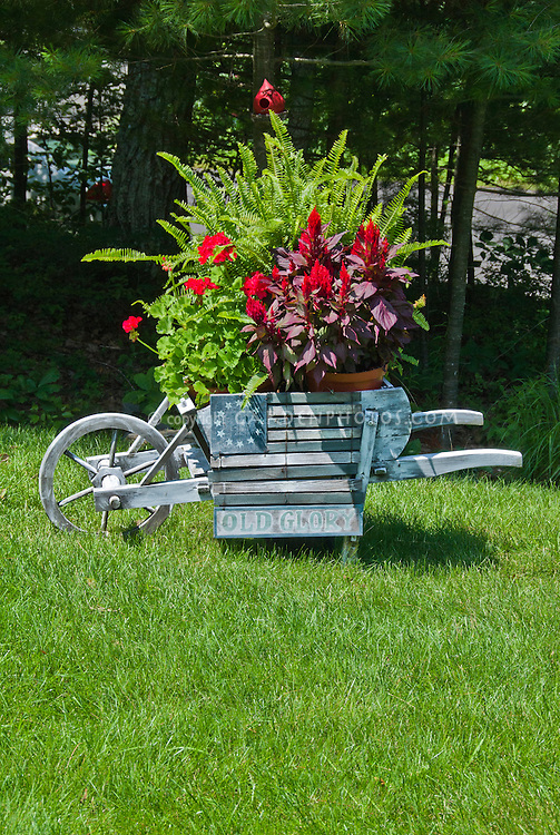 """Garden cart antique rustic weathered ornament container garden with patriotic flag """"Old Glory"""" sign, ferns, celosia, pelargonium, on lawn under Pinus strobus white pine tree"""