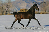 Bob, ANIMALS, REALISTISCHE TIERE, ANIMALES REALISTICOS, horses, photos+++++,GBLA4371,#a#, EVERYDAY