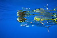 common dolphinfish, mahi mahi, or dorado, Coryphaena hippurus, school in open ocean, off Kaiwi Point, Kona Coast, Big Island, Hawaii, USA, Pacific Ocean