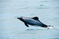 Hector's dolphin, Cephalorhynchus hectori ( endangered ), leaping, Kaikoura, New Zealand, Pacific Ocean