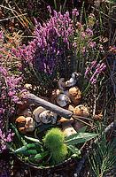 Europe/France/Aquitaine/40/Landes/Parc Naturel Régional des Landes de Gascogne/Marquèze (écomusée de la Grande Lande): Panier de cèpes dans la forêt landaise