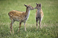 Damhirsch, Dam-Hirsch, Damwild, Jungtier, Kitz, Bambi, Dam-Wild, Cervus dama, Dama dama, fallow deer