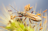 Dirt-colored Seed Bug (Paromius longulus)