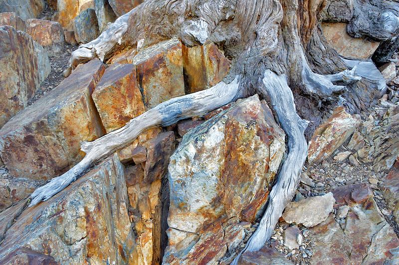 Roots of struggling tree. California