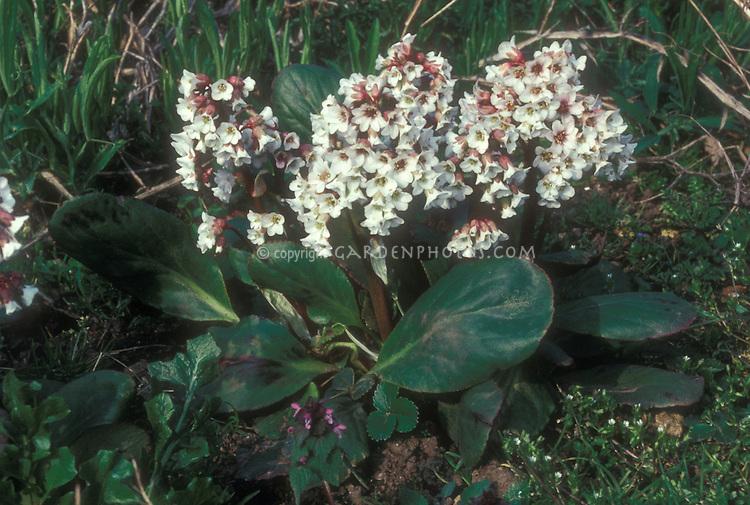 Bergenia Beethoven in white flowered bloom