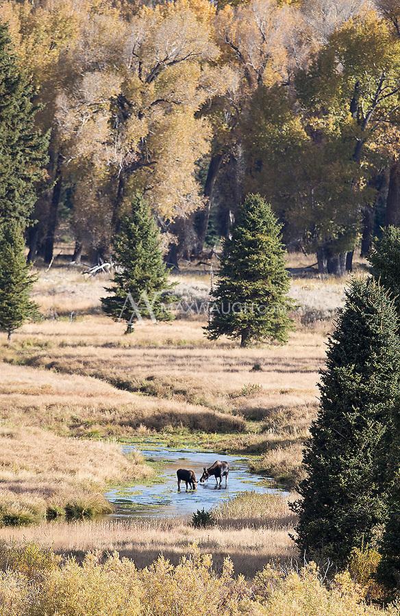 A moose cow and calf graze on aquatic plants.