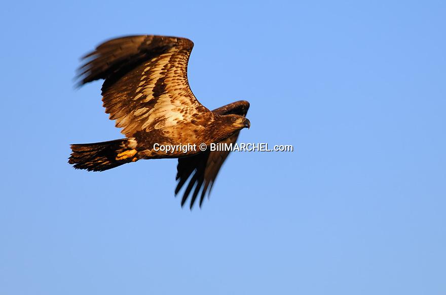 00370-013.07 Bald Eagle (DIGITAL) immature bird in flight against blue sky.  H4R