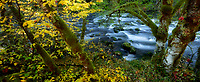 Fall color along banck of Wild and Scenic Clackamas River, Oregon