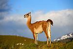 Adult guanaco (Lama guanicoe). Torres del Paine National Park, Patagonia, Chile.