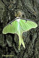 LE10-033x   Luna Moth - male adult with large antennae - Actias luna