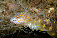 Sharptail Eel, Myrichthys breviceps, tangled in fishing line, Lake Worth Lagoon, Riviera Beach, Florida, USA, Atlantic Ocean