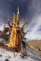 Bristlecone pines and White Mountains at sunrise (Sierra Mountains in background), Inyo National Forest, White Mountains, California, USA