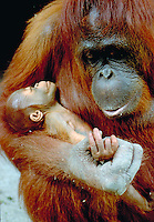 A female orangutan holds her juvenille as she rests on the floor of the rainforest, Orangutans. Orangutan , Pongo pigmaeus. Southern Borneo, Rainforest Kalimantan Indonesia Rainforest.