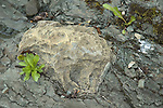 Petrified wood fossil embedded in volcanic lava, Humber River, Newfoundland, Canada