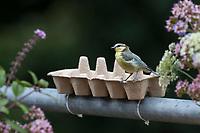 Blaumeise, Eierkarton, Eierschachtel, Eierpappe, Eierpappen wird mit Vogelfutter gefüllt und mit Kabelbindern am Geländer, Balkongeländer fixiert. Einweg-Futterschale, wenn die Pappe verschmutzt ist, kann sie einfach entsorgt und durch eine neue ersetzt werden. Vogelfütterung, Futterstelle auf dem Balkon, Dachterrasse. Blau-Meise, Meise, Meisen, Cyanistes caeruleus, Parus caeruleus, blue tit, tit, tits, La Mésange bleue