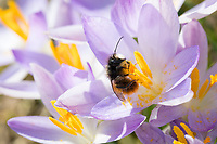 Gehörnte Mauerbiene, Männchen beim Blütenbesuch auf Krokus, Bestäubung,, Osmia cornuta, European orchard bee, orchard bee, hornfaced bee, male, L'osmie cornue, Mauerbiene, Mauerbienen, Mason bee, mason bees
