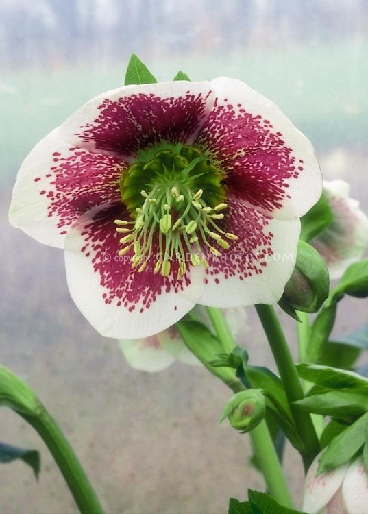 White & red flowers of Hellebore Splashdown Strain, green nectaries