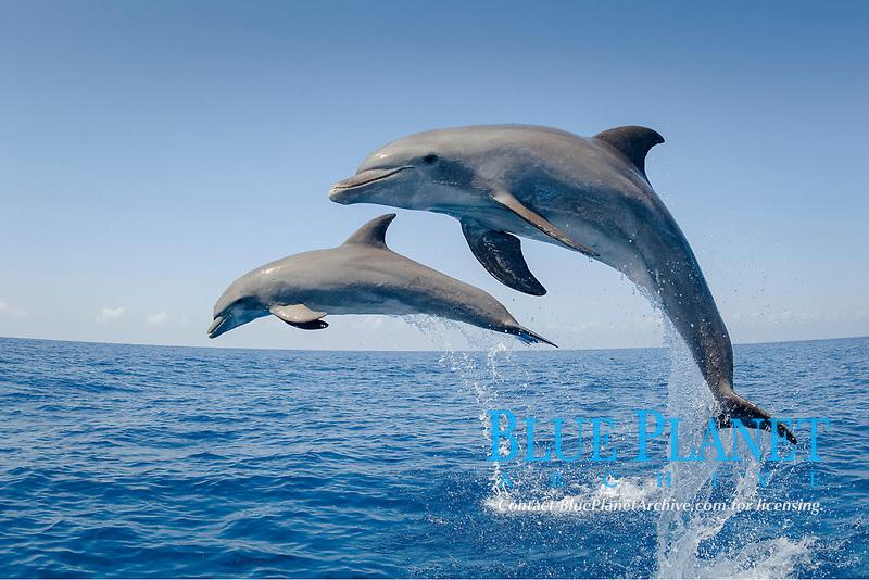 common bottlenose dolphin, or Atlantic bottlenose dolphin, Tursiops truncatus, jumping, leaping, Honduras, Caribbean Sea, Atlantic Ocean