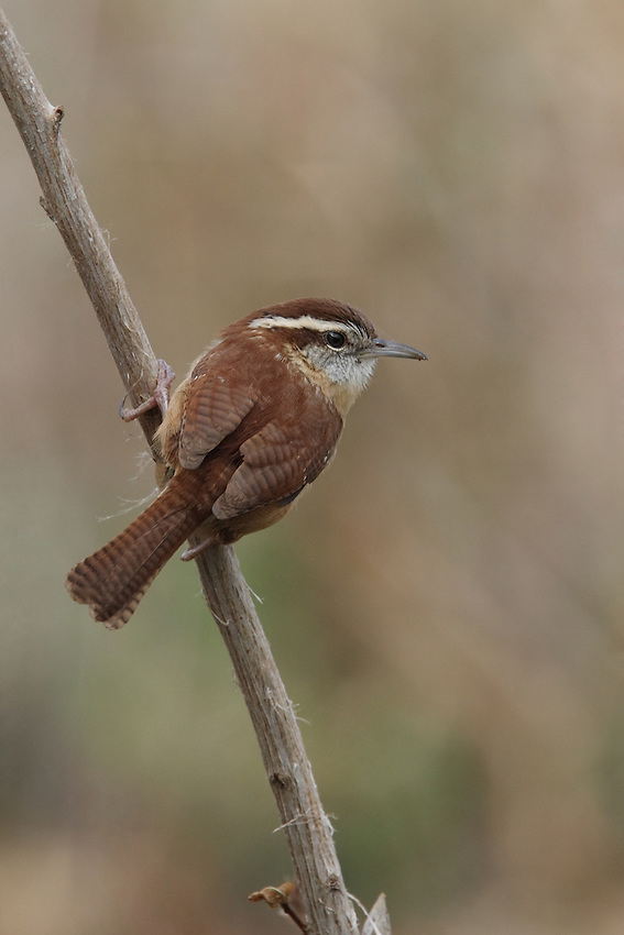 Bewick's Wrens are medium-sized wrens with a slender body and a strikingly long tail often held upright. They have slender, long bills that are slightly downcurved.