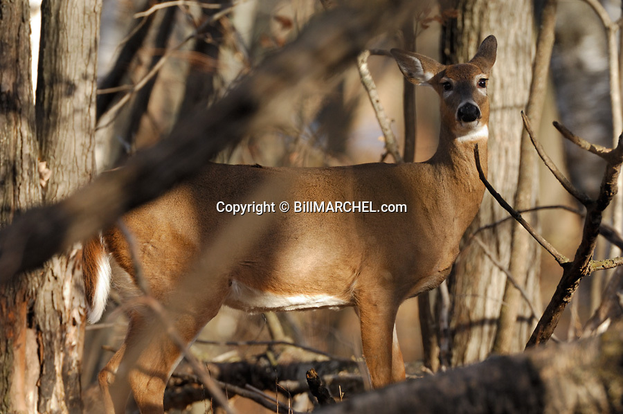 00275-195.02 White-tailed Deer (DIGITAL) doe stares from hardwood forest.  Hunting, fall.  H7R1