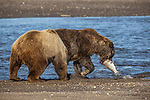 Pictured:  Sequence 12 of 13:  The mum and other bear tussle before he manages to grab the fish<br /> <br /> Grizzly bears viciously attack each other as they battle over a fish.  The two brown-haired bears became aggressive as they came to blows over their food, digging their paws and teeth into each other.<br /> <br /> Photographer Kevin Dooley spotted the female bear, thought to be about 16 years old, fighting with the younger five-year-old male bear in southwestern Alaska.  SEE OUR COPY FOR DETAILS.<br /> <br /> Please byline: Kevin Dooley/Solent News<br /> <br /> © Kevin Dooley/Solent News & Photo Agency<br /> UK +44 (0) 2380 458800