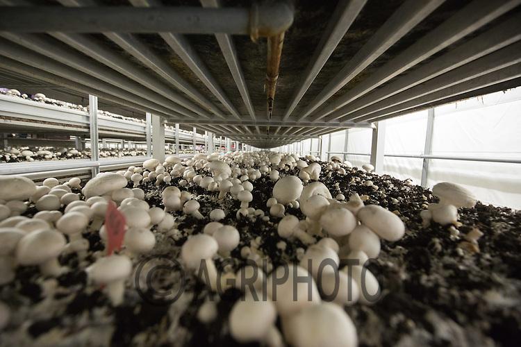 Mushrooms growing in a mushroom farm<br /> ©Tim Scrivener Photographer 07850 303986