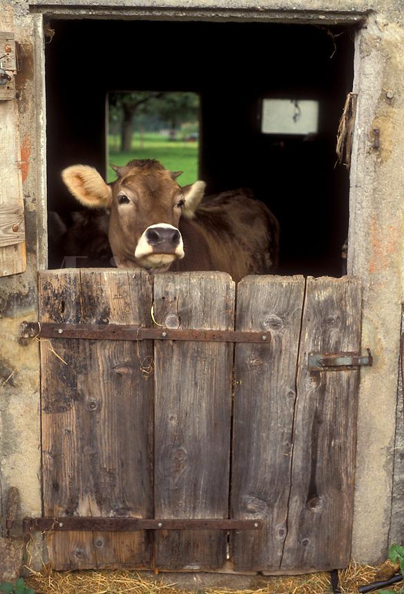 AJ2153, cow, brown swiss, Switzerland, Europe, St-Gallen, Brown Swiss cow poking her head out of a barn door in Sargans in the canton of St. Gallen.