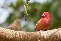 Red-billed Fire Finch at Ranch di Bango near St Louis, Senegal