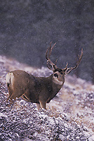 Mule Deer, Black-tailed Deer (Odocoileus hemionus), buck in snow fall, Rocky Mountain National Park, Colorado, USA