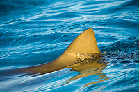 Lemon shark, Negaprion brevirostris, Northern Bahamas, Atlantic Ocean