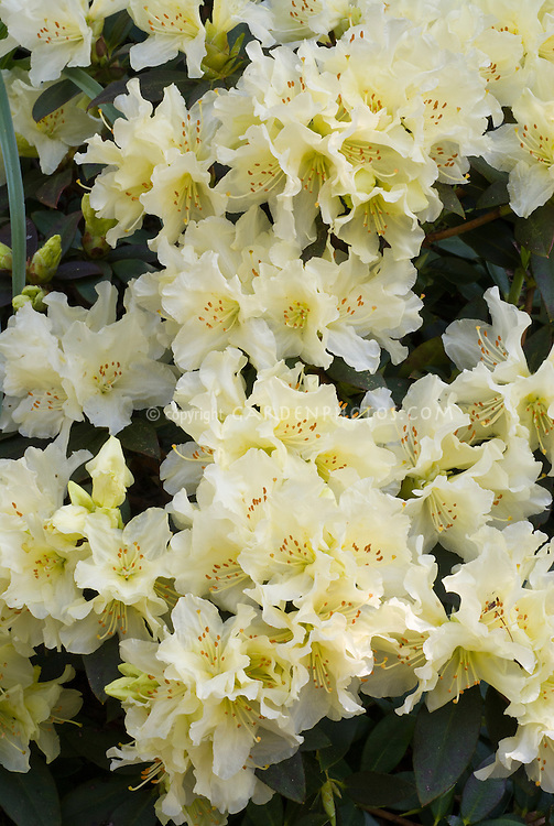 Rhododendron 'Patty Bee' yellow flowers