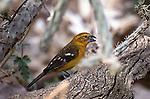 Yellow grosbeak, Pheucticus chrysopeplas, Sonoran Desert, Arizona