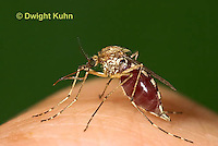 MQ02-513z  Mosquito sucking blood from human finger, Ochlerotatus excrucians, Ades excrucians]