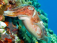 cuttlefish, Sepia sp., South Ari Atoll, Maldives, Indian Ocean